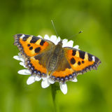 Butterfly urticaria on camomile Royalty Free Stock Images