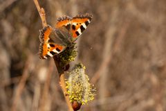 Butterfly urticaria. Butterfly closeup on a flower. Urticaria. Blooming willow in early spring royalty free stock image
