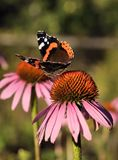 Butterfly Urticaria on a flower. Beautiful butterfly species Urticaria, genus Aglais, order Lepidoptera, nymphalidae family on a blooming flower royalty free stock image