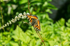 Butterfly urticaria on the flower. Royalty Free Stock Photo