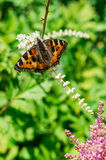 Butterfly urticaria on the flower. Royalty Free Stock Images