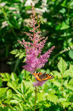 Butterfly urticaria on the flower. Stock Image