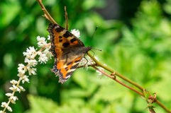 Butterfly urticaria on the flower. Stock Photo