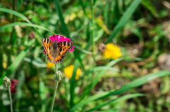 Butterfly urticaria on the flower. Royalty Free Stock Photos