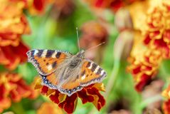 Butterfly urticaria on a flowerbed. Orange butterfly urticaria on a bright flowerbed among marigold flowers royalty free stock photos