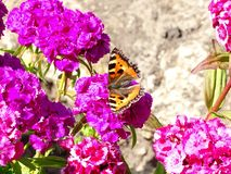Butterfly Urticaria in flowers Turkish carnation. stock photos