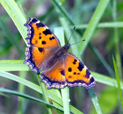 Butterfly urticaria in grass closeup Royalty Free Stock Photo