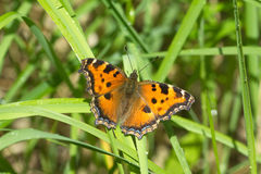 Butterfly urticaria in grass closeup Stock Image