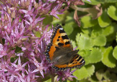 Butterfly urticaria. Royalty Free Stock Images