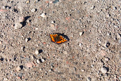 Butterfly urticaria Stock Image