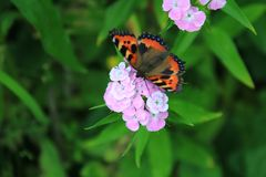 Butterfly Urticaria and Pink Flower. Urticaria is a diurnal butterfly from the Nymphalida family, a species of the genus Aglais stock images