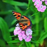 Butterfly Urticaria and Pink Flower. Urticaria is a diurnal butterfly from the Nymphalida family, a species of the genus Aglais stock image