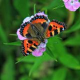 Butterfly Urticaria and Pink Flower. Urticaria is a diurnal butterfly from the Nymphalida family, a species of the genus Aglais stock photography