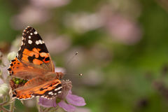 Butterfly urticaria on a pink flower Royalty Free Stock Photography