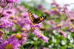 Butterfly-urticaria on the  pink flower of perennial asters in early autumn. Summer landscape. Butterfly-urticaria on the  pink flower of perennial asters in Stock Photo