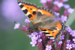 Butterfly urticaria sits on flower heliotrope stock photo