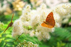 Butterfly urticaria sits on a flower. Summer background. Butterfly urticaria sits on a flower stock photos