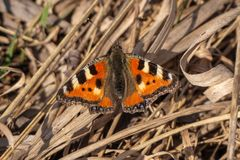 Butterfly Urticaria. Sits on last year`s grass. Close-up royalty free stock photography
