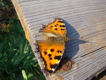 Butterfly urticaria. Sits on a wooden Board Royalty Free Stock Photo