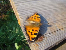 Butterfly urticaria. Sits on a wooden Board Stock Images
