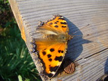 Butterfly urticaria. Sits on a wooden Board Stock Photos