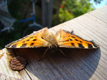Butterfly urticaria Stock Photography