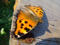 Butterfly urticaria. Sits on a wooden Board Stock Photo