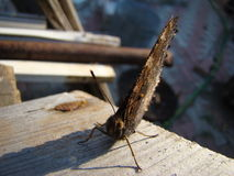 Butterfly urticaria. Sits on a wooden Board Royalty Free Stock Photos