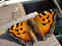 Butterfly urticaria. Sits on a wooden Board Royalty Free Stock Photography