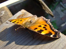 Butterfly urticaria. Sits on a wooden Board Royalty Free Stock Image