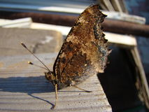 Butterfly urticaria Royalty Free Stock Photos