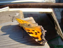 Butterfly urticaria. Sits on a wooden Board Stock Photography
