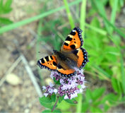 Butterfly urticaria sitting on the field flowers in summer day closeup. Colorful butterfly urticaria sitting on the field flowers in summer in summer day close Royalty Free Stock Images
