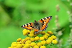 Butterfly urtikaria under the sun 2. Butterfly hives enjoying flower under the summer sun- Karelia Russia stock photo