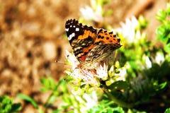 Butterfly Vanessa - Arashania levana L. Royalty Free Stock Image
