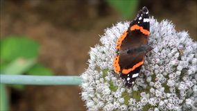 Butterfly Vanessa atalanta Admiral stock video