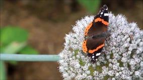 Butterfly Vanessa atalanta Admiral on allium stock video