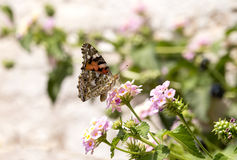 The butterfly Vanessa atalanta Stock Images