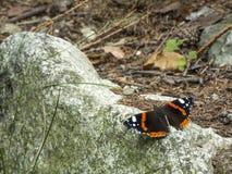 Butterfly vanessa atalanta on stone Royalty Free Stock Photos