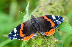 Butterfly vanessa atalanta. With widely spread wings sits on a leaf Royalty Free Stock Photos