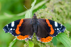 Butterfly vanessa atalanta. With widely spread wings sits on a leaf Stock Image