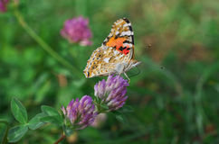 Butterfly Vanessa cardio  on Trifolium pretense - close up Royalty Free Stock Photos
