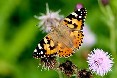 Butterfly (Vanessa cardui). Beautiful butterfly (Vanessa cardui) spreading it's wings on a flower royalty free stock photo