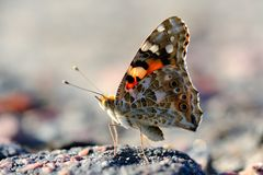 Butterfly Vanessa cardui Royalty Free Stock Images