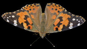 Butterfly (Vanessa cardui) 12 Royalty Free Stock Photos