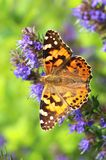 Butterfly Vanessa cardui Stock Image