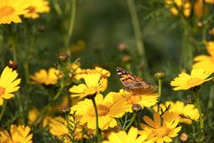 Butterfly Vanessa cardui sitting on a flower of yellow wild chrysanthemum. During migration from Africa to Europe through Israel stock photography
