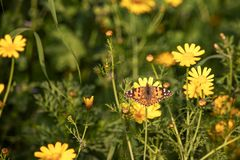 Butterfly Vanessa cardui sitting on a flower of yellow wild chrysanthemum. During migration from Africa to Europe through Israel royalty free stock images
