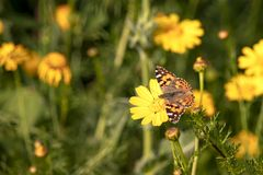 Butterfly Vanessa cardui sitting on a flower of yellow wild chrysanthemum during migration. From Africa to Europe through Israel stock image