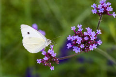 Butterfly on verbena Royalty Free Stock Photography